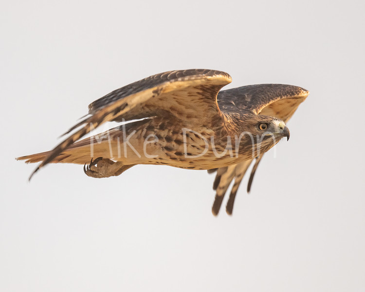Red Tailed Hawk-131