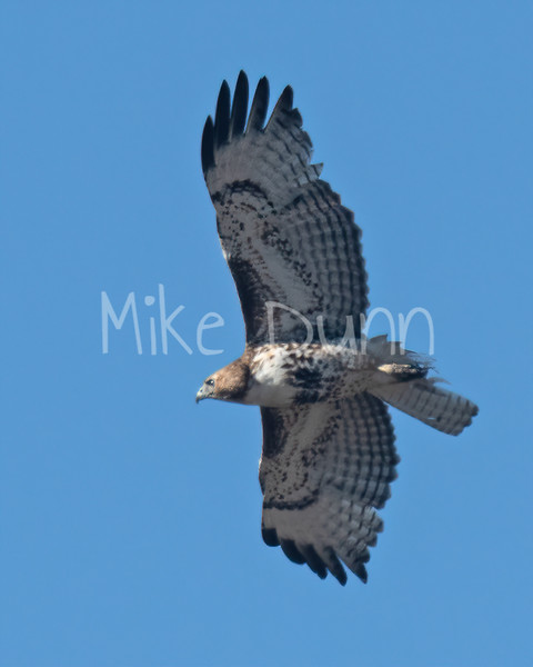 Red Tailed Hawk-71