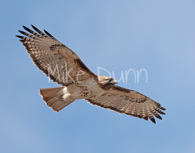 Red Tailed Hawk-137