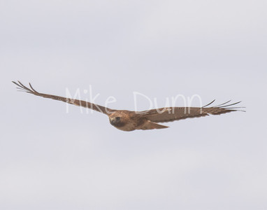 Red Tailed Hawk-68