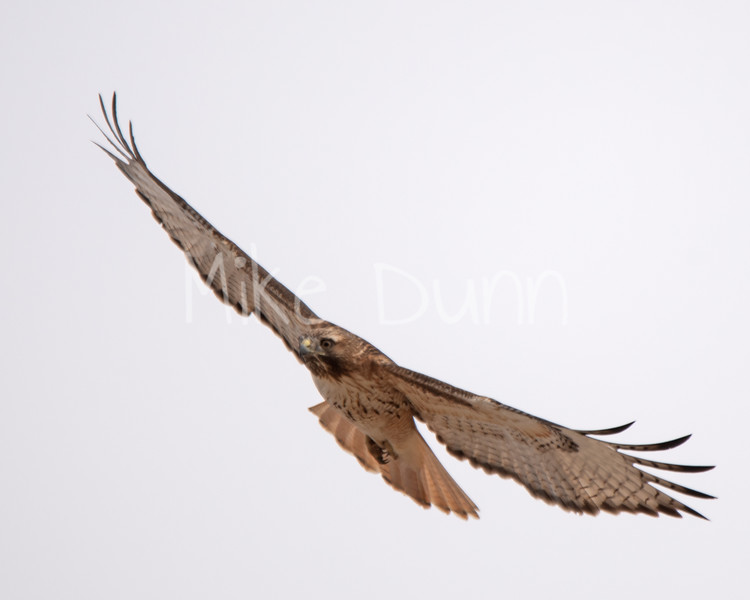 Red Tailed Hawk-23