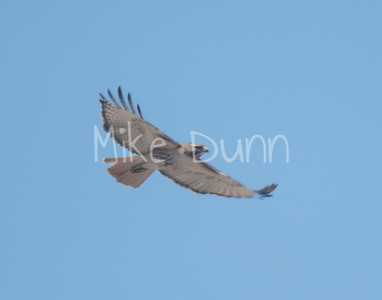 Red Tailed Hawk-55