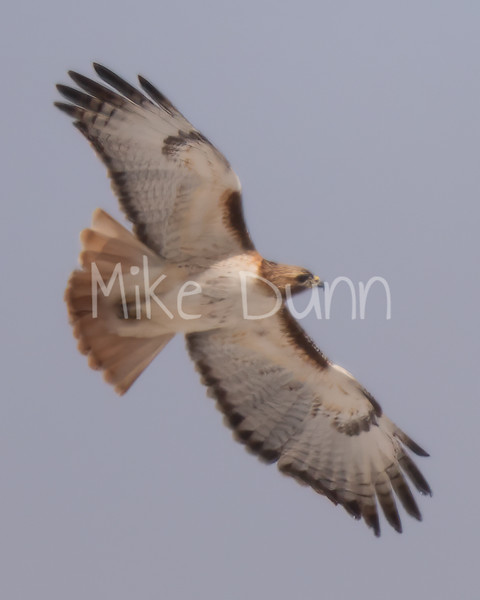 Red Tailed Hawk-59