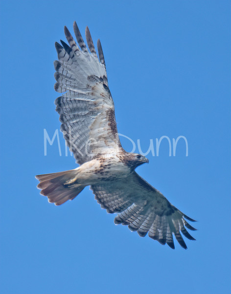 Red Tailed Hawk-97