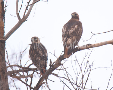 Red Tailed Hawk-51