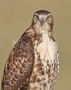 Red Tailed Hawk-155