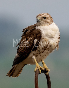Red Tailed Hawk-145
