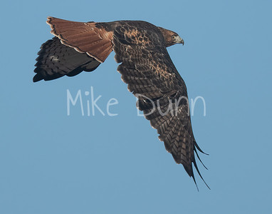 Red Tailed Hawk-121