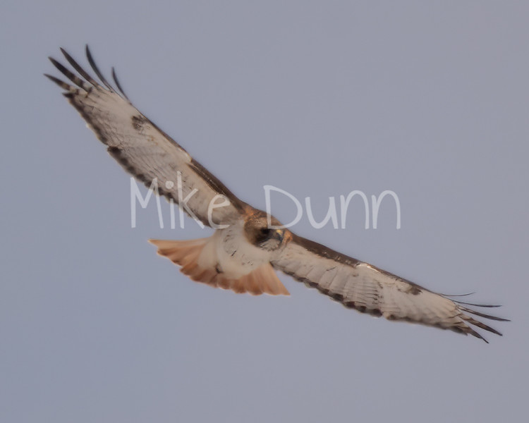 Red Tailed Hawk-58