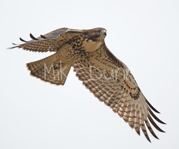 Red Tailed Hawk-99