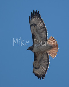 Red Tailed Hawk-73