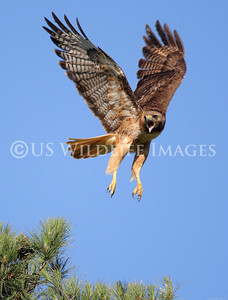 Female Red-Tailed Hawk Call