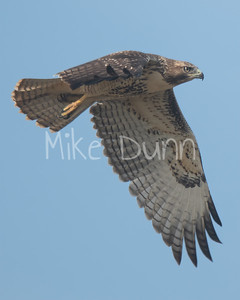 Red Tailed Hawk-102