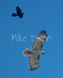 Red Tailed Hawk-86