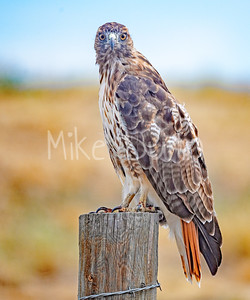 Red Tailed Hawk-116