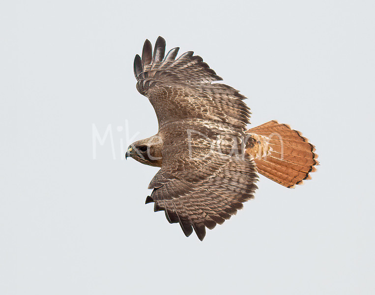 Red Tailed Hawk-140