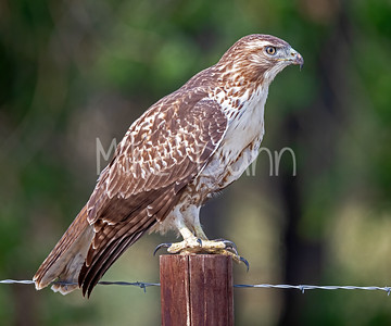 Red Tailed Hawk-117