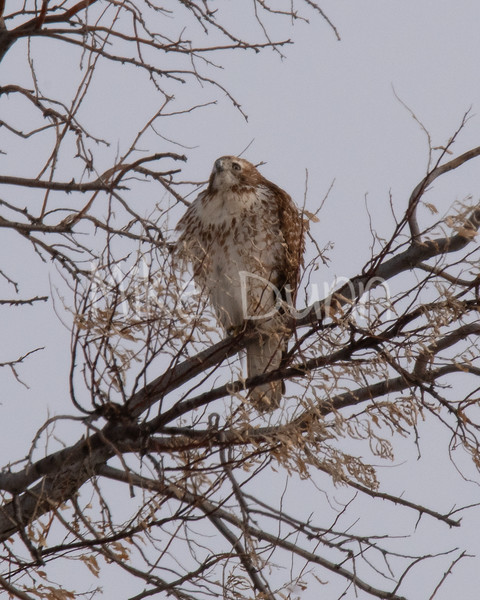 Red Tailed Hawk-8