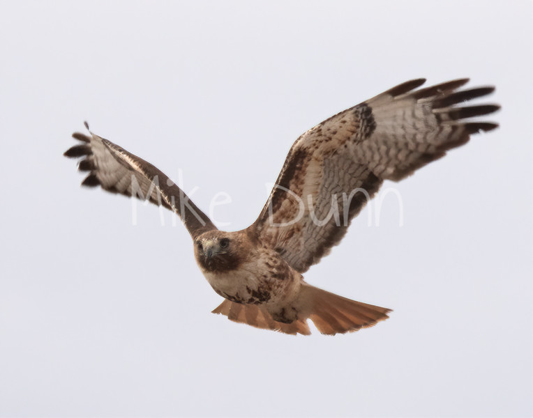 Red Tailed Hawk-69