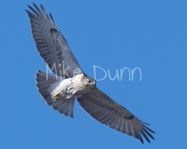 Red Tailed Hawk-91