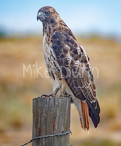 Red Tailed Hawk-115