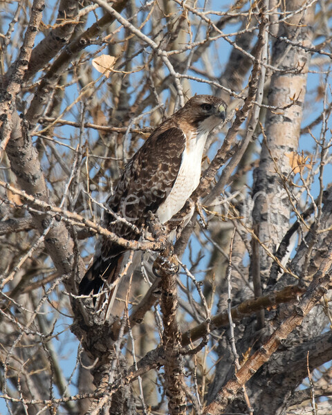 Red Tailed Hawk-15