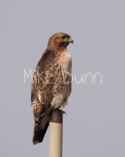 Red Tailed Hawk-48