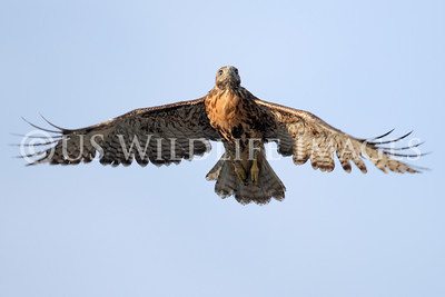 Red-Tailed Hawk First Flight