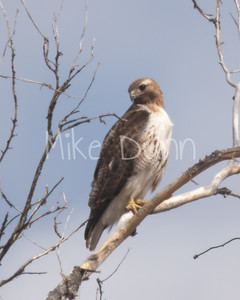 Red Tailed Hawk-64