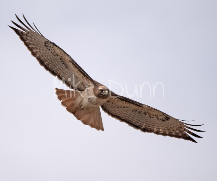 Red Tailed Hawk-41