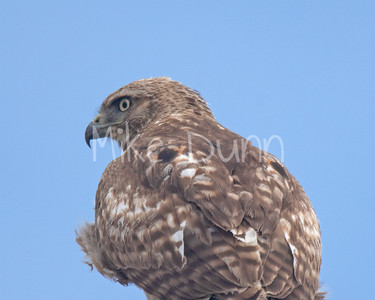 Red Tailed Hawk-80