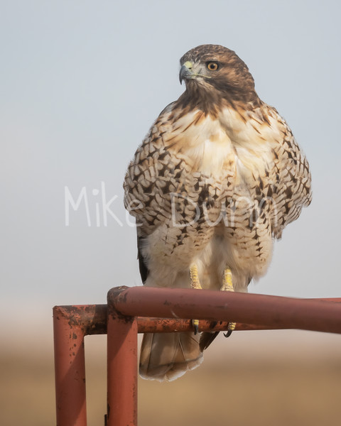 Red Tailed Hawk-132