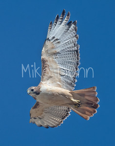 Red Tailed Hawk-123