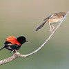 5. Red-backed fairywren  (b & u) 09-03-25.083