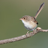 2. Red-backed fairywren (u) 09-03-11.068