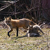 fox and pups          1011 smpsd