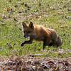 fox and pups          2611 smpsd