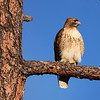 Hawk on a Branch