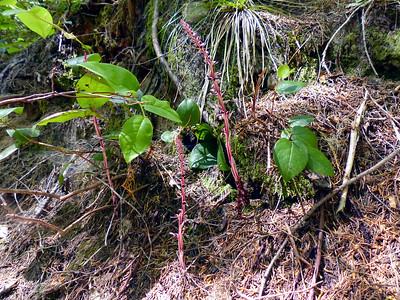Ericaceae (Heath) - Allotropa virgata - Sugarstick