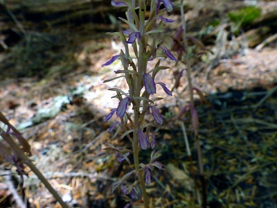 Orchidaceae (Orchid) - Corallorhiza mertensiana -  Mertens' Coralroot