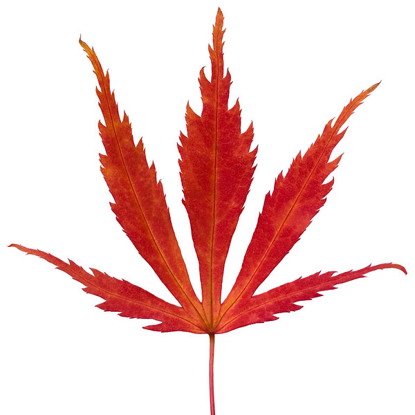 Maple Leaf 1
