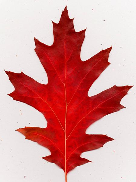 Red Leaf 1