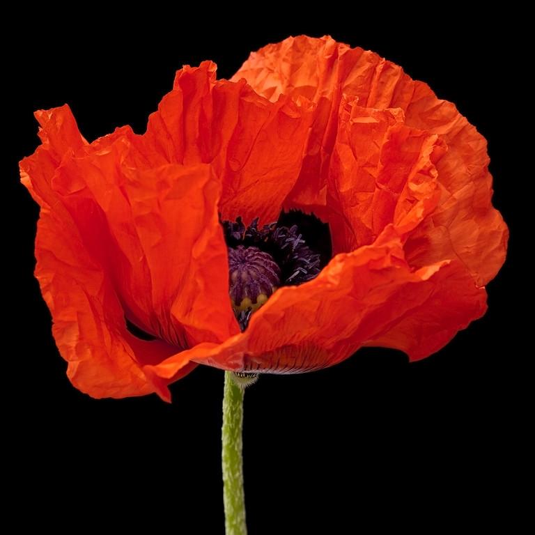 Scarlet Poppy 2