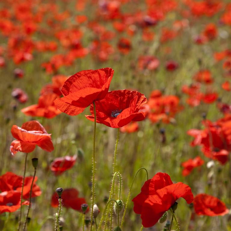 Poppy Field 3