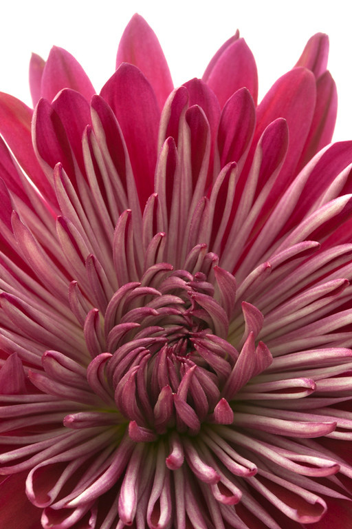 Red Chrysanthemum 3