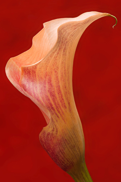 Mango Cala  Lily 1