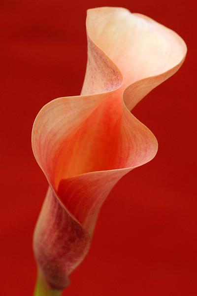 Mango Cala Lily 2