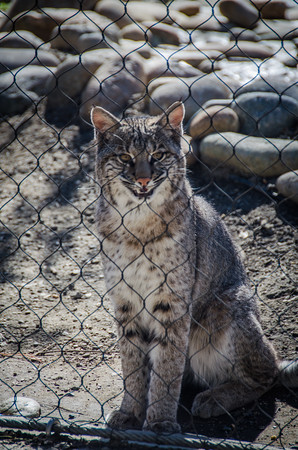 Whisper the bobcat at Turtle Bay Exploration Park