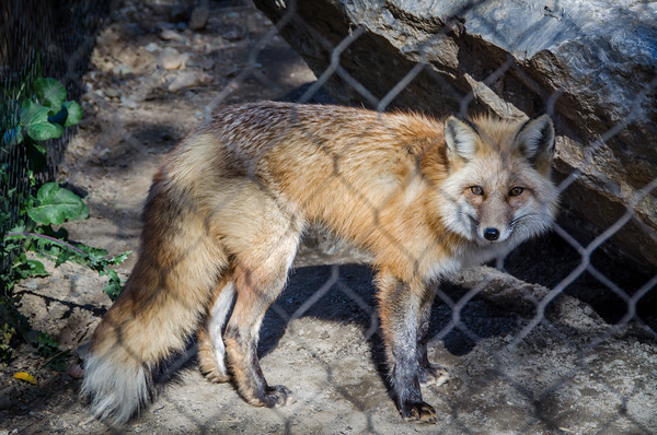 The red fox exhibit at Turtle Bay Exploration Park in Redding, California