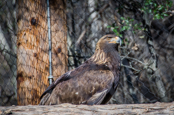 The golden eagle exhibit at Turtle Bay Exploration Park in Redding, California